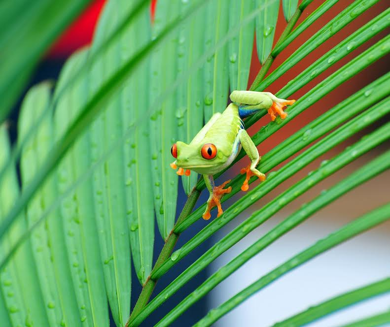 A Red-eyed Tree Frog clings to a leaf, Tortuguero, Costa Rica