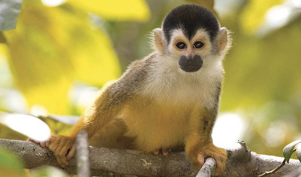 karryon-aurora-expeditions-monkey-costa-rica